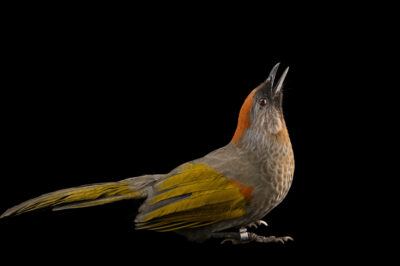 Photo: A silver-eared laughingthrush (Trochalopteron melanostigma) at the Prague Zoo.