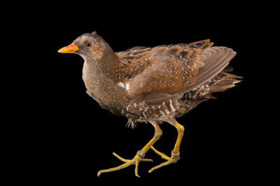 Photo: A spotted crake (Porzana porzana) at the Prague Zoo.