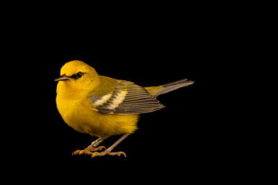 Photo: A male blue-winged warbler (Vermivora cyanoptera), at Rum River Central Park.