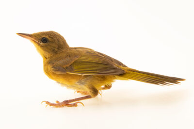 Photo: A juvenile common yellowthroat (Geothlypis trichas trichas) at Rum River Central Park.