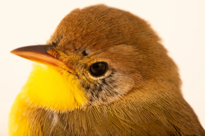 Photo: A hatch year, male common yellowthroat, (Geothlypis trichas) at Nebraska Wildlife Rehab.