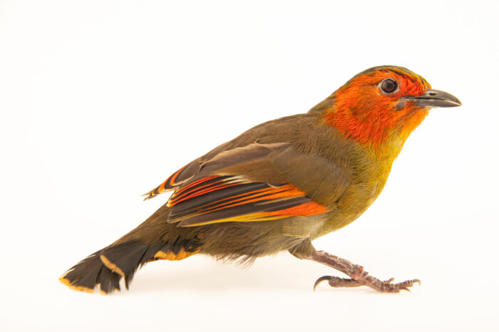 Photo: A scarlet-faced liocichla (Liocichla ripponi) at Riverbanks Zoo and Garden.