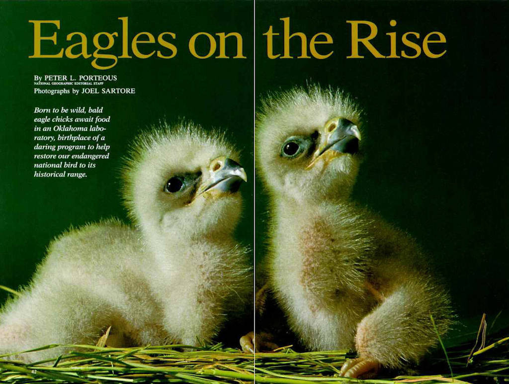"Photo: The opening spread of the article ""Eagles on the Rise"" in the November, 1992 issue of National Geographic magazine, featuring Joel Sartore's photos."