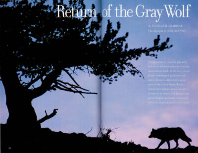 "Photo: The opening spread of the article ""Return of the Gray Wolf"" in the May, 1998 issue of National Geographic magazine, featuring Joel Sartore's photos."