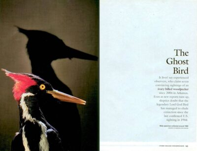 "Photo: The opening spread of the article ""The Ghost Bird"" about the ivory-billed woodpecker, in the December, 2006 issue of National Geographic magazine, featuring Joel Sartore's photos."