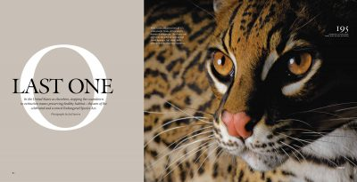 """Photo: The opening spread of the article, """"Last One"""" about America's endangered species, from the January, 2009 issue of National Geographic magazine, featuring Joel Sartore's photograph of an ocelot."""
