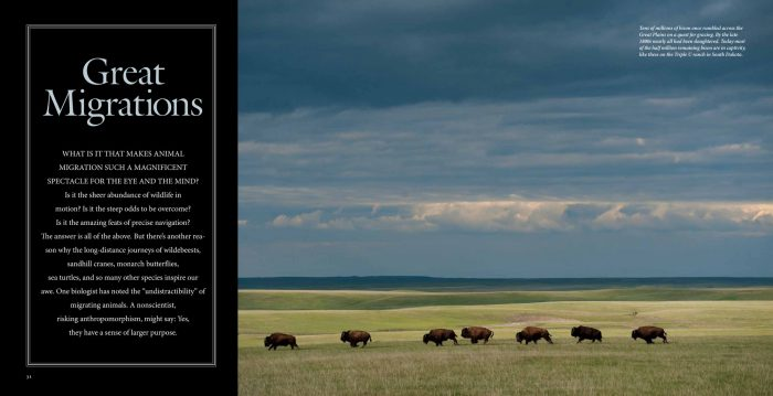 "The opening spread for ""Great Migrations"" from the November, 2010 issue of National Geographic magazine, featuring Joel Sartore's photograph of bison in South Dakota."