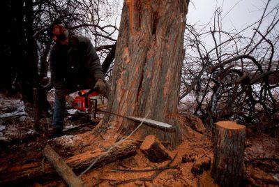 Photo: Cutting down old-growth osage orange trees in Nebraska.