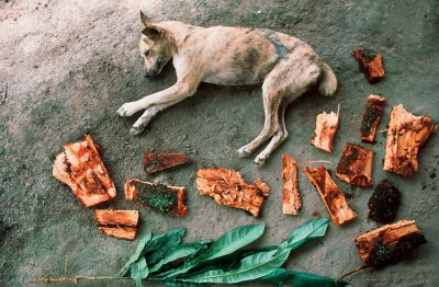 Photo: A sleeping dog lies next to medicinal bark & leaves at a workshop on forest products in the Brazilian Amazon.