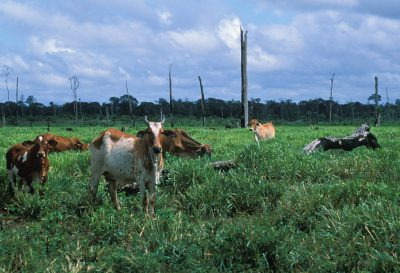 Photo: Cattle graze in a clear-cut area of the Brazilian Amazon's rain forest.