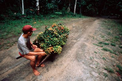 Photo: Pupunha fruit is transported to a market near Belem, Brazil.