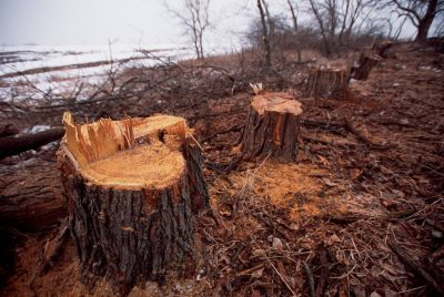 Photo: Osage orange tree stumps on a farmstead being cleared for development in Lincoln, NE.