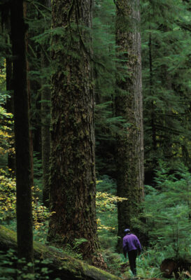 Photo: A slivaculturist stands beside a 300+ ft. tall Douglas fir at the Willamette Nat'l Forest in Oregon.