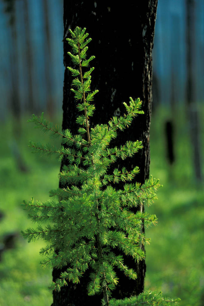 Photo: New growth springs up in the wake of a forest fire in Glacier National Park.