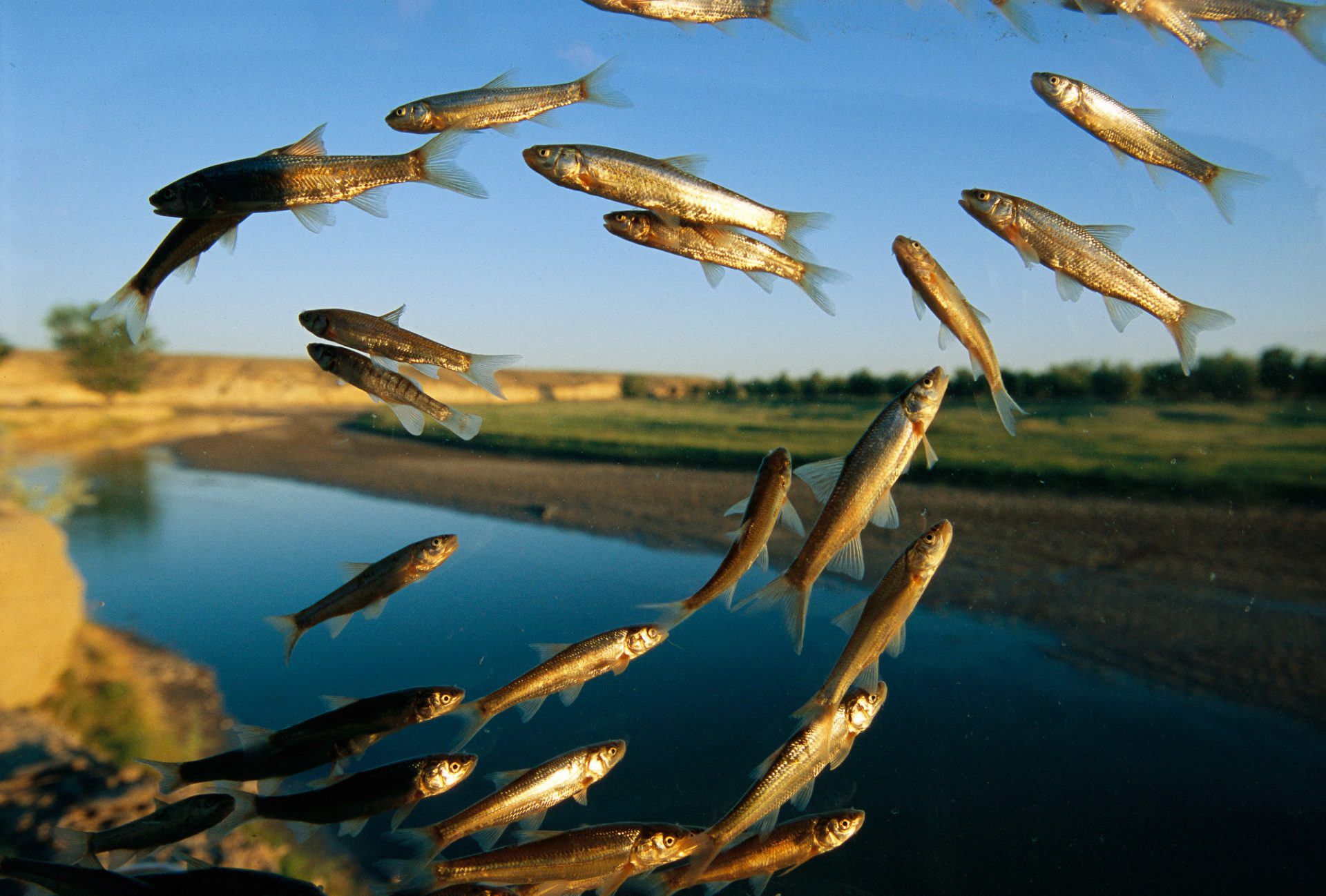 "Photo: ""Flying fish"" (minnows) over the Powder River in Wyoming, an ecosystem threatened by coal bed methane development."