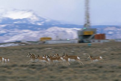 Photo: Pronghorn antelope in Jonah Field on the Pinedale Anticline, a geologic uplift of sage and grass that provides critical winter range to both antelope and mule deer.