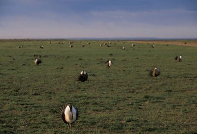 Photo: A large sage grouse lek of 69 birds in Pinedale, Wyoming.