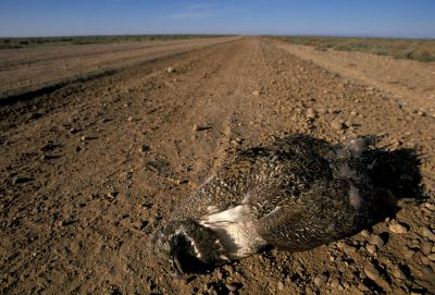 Photo: A dead sage grouse lies near a lek of 69 birds in Pinedale, Wyoming.