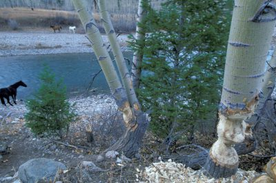 Photo: Beaver-worked trees stand along the banks of the Sun River in Montana's Rocky Mountain Front.