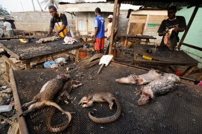 Men butcher and cook bushmeat, including a marsh cane rat (Thryonomys swinderianus), two tree pangolin (Phataginus tricuspis) and two brush-tailed porcupine (Atherurus africanus), in a market in Malabo, Equatorial Guinea.
