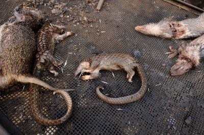 Butchered and cooked bushmeat, including a marsh cane rat (Thryonomys swinderianus), two tree pangolin (Phataginus tricuspis) and two brush-tailed porcupine (Atherurus africanus), in a market in Malabo, Equatorial Guinea.