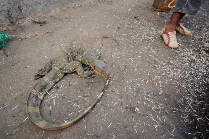 Photo: A live monitor lizard (Varanus niloticus) in the market in Malabo, Equatorial Guinea, Africa.