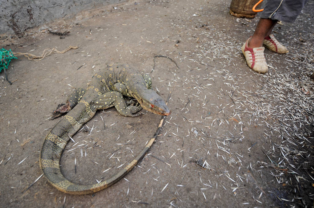 Photo: A live monitor lizard (Varanus niloticus) in the market in Malabo, Equatorial Guinea, Africa.