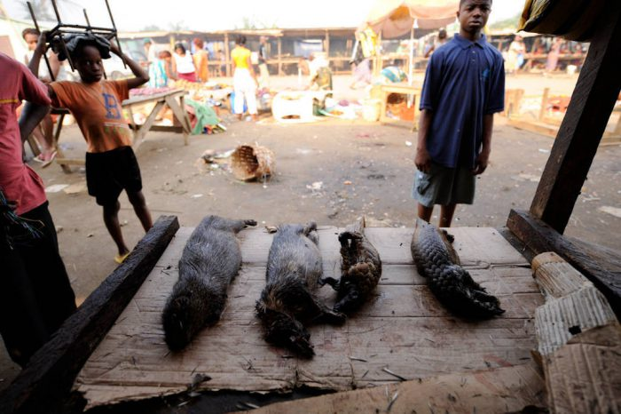 Butchered and cooked animals, two brush-tailed porcupine (Atherurus africanus) and two endangered tree pangolin (Phataginus tricuspis), displayed for sale in the market in Malabo, Equatorial Guinea, Africa.