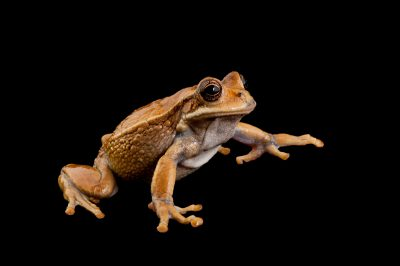 A marsupial frog (Gastrotheca cuencana) at a captive breeding facility in Ecuador. Formerly known as Azuay marsupial frog (Gastrotheca litonedis).