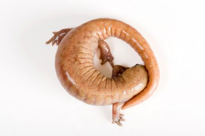 An albino streamside salamander (Ambystoma barbouri). (IUCN: Near Threatened)