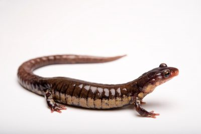 A Rich Mountain salamander (Plethodon ouachitae). (IUCN: Near Threatened)