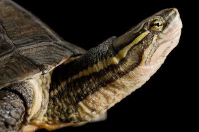An Annam leaf turtle (Annamemys annamensis or Mauremys annamensis). (IUCN: Critically Endangered)