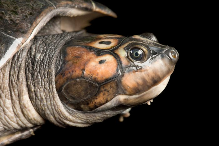A giant South American river turtle (Podocnemis expansa).