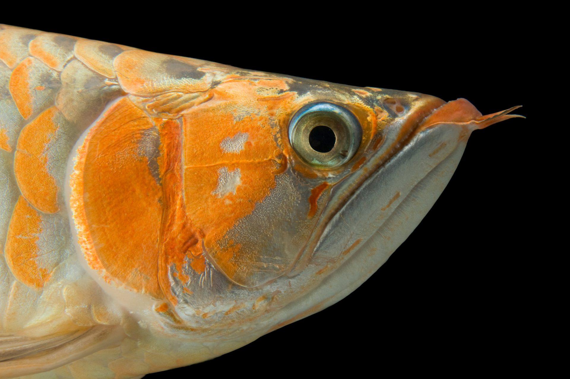 An endangered Asian bonytongue (Scleropages formosus).
