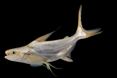 A critically endangered (IUCN) and federally endangered giant pangasius catfish (Pangasius sanitwongsei).