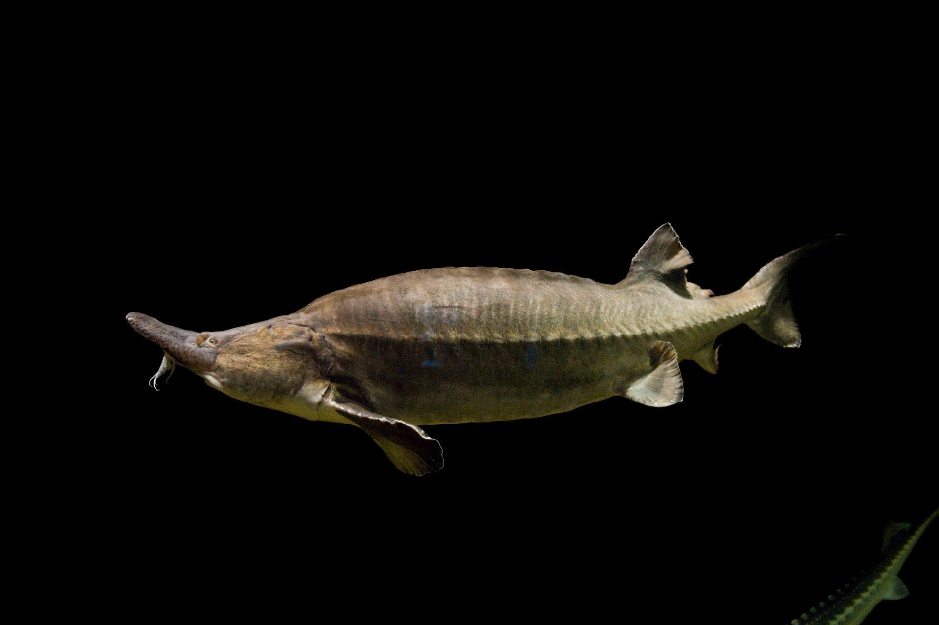 A critically endangered (IUCN) and federally threatened beluga sturgeon (Huso huso).