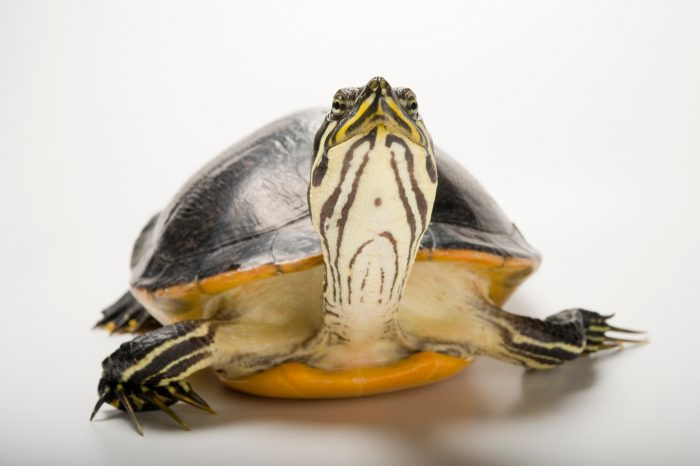 A Florida red-bellied turtle (Pseudemys nelsoni).