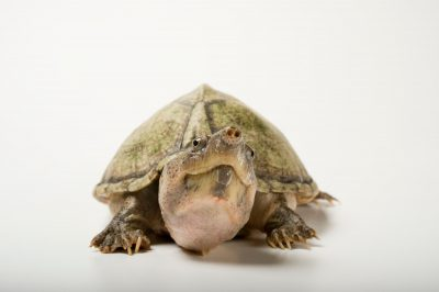 A razor-back musk turtle (Sternotherus carinatus).