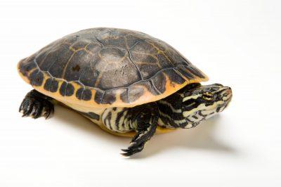 A Florida chicken turtle (Deirochelys reticularia chrysea).