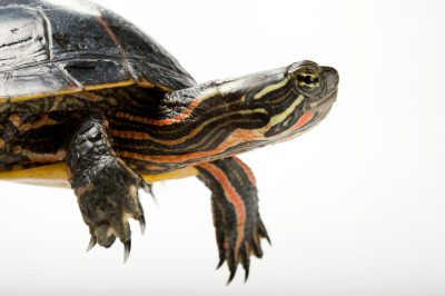 A southern painted turtle (Chrysemys picta dorsalis).