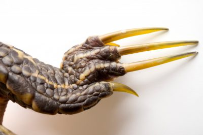 The long claws of a male river cooter (Pseudemys concinna) are used to stroke the female's face during courtship.