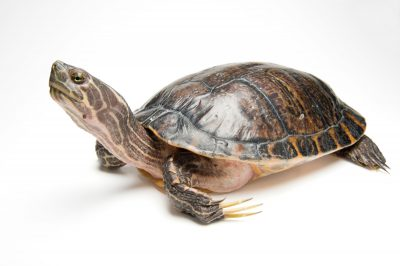 A male river cooter (Pseudemys concinna). Its long claws are used to stroke the female's face during courtship.