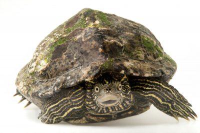 A Sabine map turtle (Graptemys ouachitensis sabinensis).