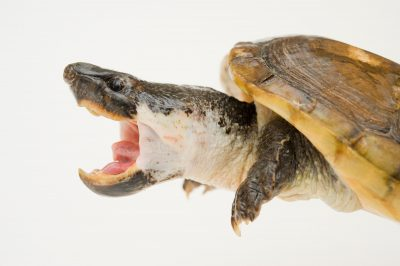 A Mexican giant musk turtle (Staurotypus triporcatus).