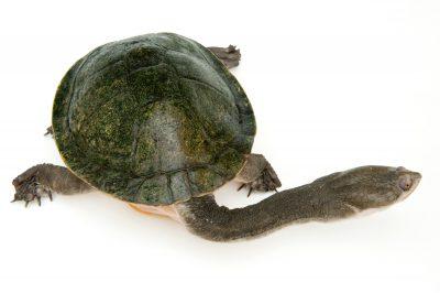 A giant snake-necked turtle (Chelodina expansa).