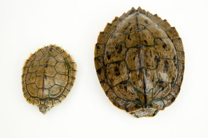 Ouachita map turtles (Graptemys ouachitensis ouachitensis).