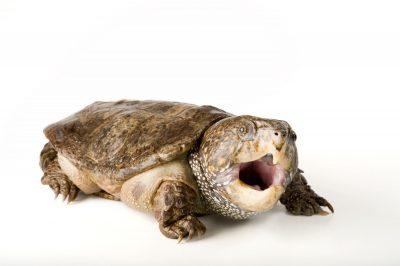 Picture of an endangered southeast Asian big-headed turtle (Platysternon megacephalum megacephalum).