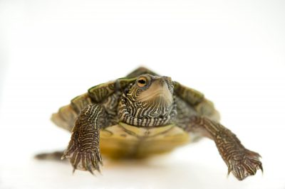 A common map turtle (Graptemys geographica).