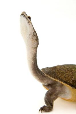 A vulnerable Parker's snake-necked turtle (Chelodina parkeri).