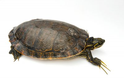 A eastern river cooter (Pseudemys concinna concinna) at the Tennessee Aquarium.